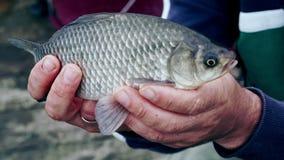 Mãos dos homens que guardam um peixe O pescador travou um peixe Captura bem sucedida na pesca filme