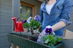 Mãos dos jardineiro que plantam flores no potenciômetro com sujeira ou solo no recipiente no jardim do balcão do terraço Conceito foto de stock