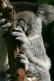 Mãos e feets do Koala Fotos de Stock