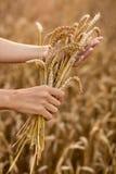 Mãos e orelhas maduras do trigo imagem de stock royalty free