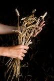 Mãos e orelhas maduras do trigo foto de stock royalty free