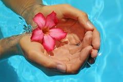 Mãos fêmeas com o frangipani vermelho sobre a terra azul Foto de Stock Royalty Free