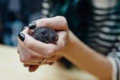 Mãos fêmeas com o rato encaracolado engraçado bonito do cachorrinho no fundo de madeira borrado, close up Animais em casa Fotos de Stock Royalty Free