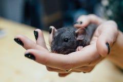 Mãos fêmeas com o rato encaracolado engraçado bonito do cachorrinho no fundo de madeira borrado, close up Animais em casa Fotos de Stock