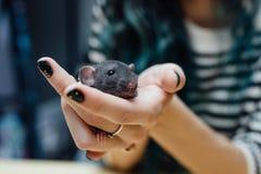 Mãos fêmeas com o rato encaracolado engraçado bonito do cachorrinho no fundo de madeira borrado, close up Animais em casa Imagem de Stock