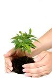 Mãos fêmeas com planta Fotografia de Stock