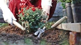 Mãos fêmeas nas luvas protetoras que plantam um arbusto de um crisântemo vermelho na terra Movimento lento video estoque