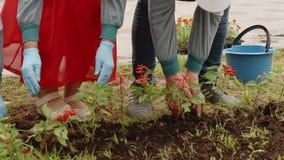 Mãos fêmeas que plantam plântulas da flor no jardim do verão do solo Flores de transplantação do jardineiro da mulher no canteiro video estoque