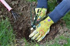 Mãos fêmeas que plantam uma plântula Fotografia de Stock