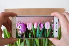 Mãos fêmeas que tomam uma imagem de tulipas frescas bonitas com smartphone Foto de Stock