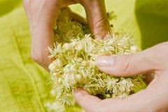Mãos humanas que guardam flores do Linden imagem de stock