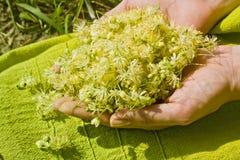 Mãos humanas que guardam flores do Linden fotografia de stock