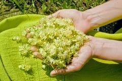 Mãos humanas que guardam flores do Linden fotografia de stock royalty free