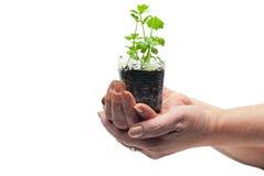 Mãos humanas que prendem a planta verde Fotografia de Stock Royalty Free