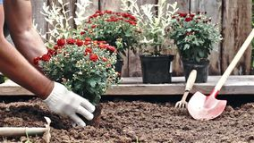 Mãos masculinas nas luvas protetoras que plantam um arbusto de um crisântemo vermelho na terra Movimento lento video estoque