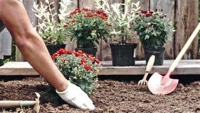 Mãos masculinas nas luvas protetoras que plantam um arbusto de um crisântemo vermelho na terra Movimento lento filme