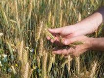 Mãos masculinas que guardam os spikelets do trigo no campo no dia ensolarado, colheita nova imagem de stock royalty free