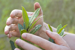 Mãos masculinas que protegem uma planta Fotos de Stock