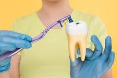 Mãos nas luvas azuis que guardam o modelo do dente e uma escova de dentes fotos de stock
