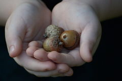 Mãos pequenas que guardam bolotas Imagem de Stock Royalty Free