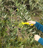 Mãos que coletam azeitonas frescas Imagem de Stock Royalty Free