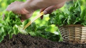 Mãos que escolhem a alface com cesta, planta no jardim vegetal, fim acima vídeos de arquivo