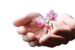 Mãos que guardam a flor nova pequena, orquídea nova isolada no branco Fotografia de Stock Royalty Free