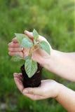 Mãos que guardam a planta pequena verde Fotografia de Stock