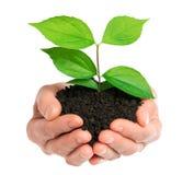 Mãos que guardam a planta verde Foto de Stock
