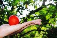 Mãos que guardam um punhado de tomates maduros vermelhos com backgro do bokeh Imagens de Stock
