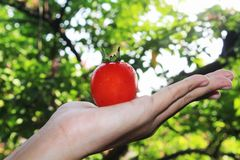 Mãos que guardam um punhado de tomates maduros vermelhos com backgro do bokeh fotos de stock