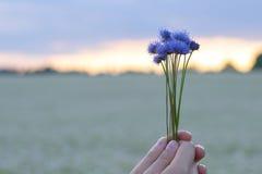 Mãos que guardam um ramalhete pequeno das centáureas na perspectiva do céu da noite e de um campo de flor imagem de stock royalty free