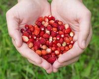 Mãos que guardaram morangos selvagens Imagem de Stock Royalty Free