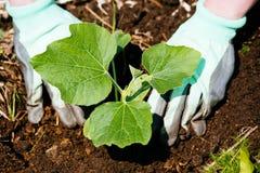 Mãos que plantam plântulas de uma abóbora no solo fotos de stock