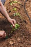 Mãos que plantam uma plântula da pimenta Imagens de Stock