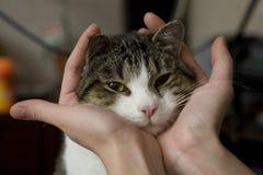 Mãos que prendem a cabeça do gato fotografia de stock
