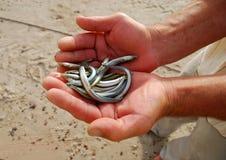 Mãos que prendem diversos peixes pequenos. Imagens de Stock Royalty Free