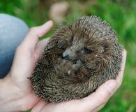 Mãos que prendem o hedgehog Imagens de Stock