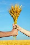 Mãos que prendem o pacote das orelhas douradas do trigo Imagens de Stock Royalty Free