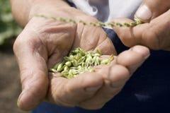 Mãos que prendem o trigo Imagens de Stock Royalty Free