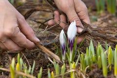 Mãos que removem as folhas velhas do canteiro de flores Imagem de Stock Royalty Free