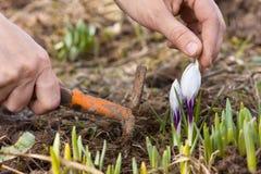 Mãos que removem ervas daninhas da cama de flor Fotografia de Stock Royalty Free