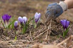 Mãos que removem a grama e as folhas velhas do canteiro de flores Imagem de Stock