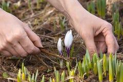 Mãos que removem a grama velha do canteiro de flores Imagens de Stock Royalty Free