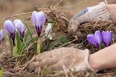 Mãos que removem a grama velha do canteiro de flores na mola Imagem de Stock