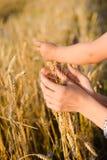 Mãos que tocam nas orelhas do trigo no campo no dia ensolarado Fotos de Stock
