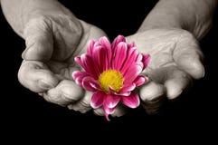 Mãos velhas com uma flor no preto Imagens de Stock