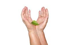 Mãos velhas e folha nova Fotografia de Stock Royalty Free