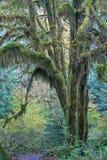 Mäßiger Regenwald des pazifischen Nordwestens Stockbild