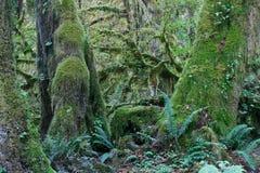 Mäßiger Regenwald des pazifischen Nordwestens Stockbilder